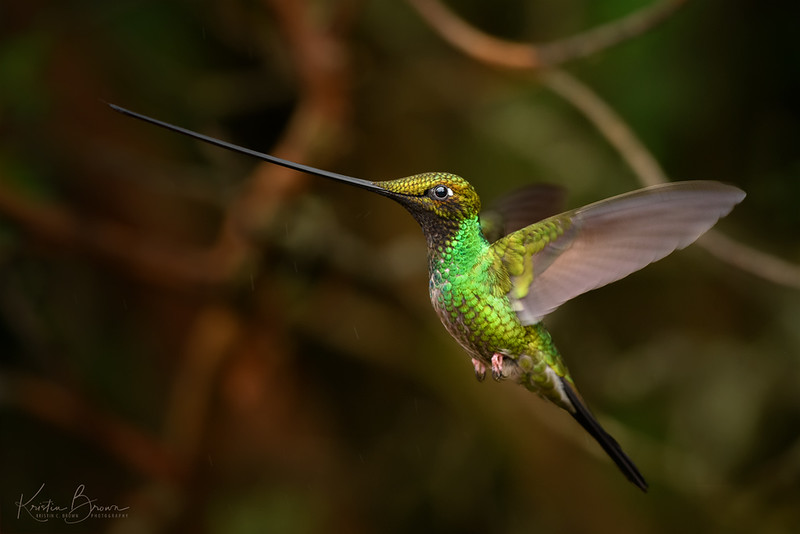 Forest  Male Sword-billed Hummingbird