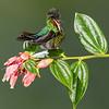 Cheeky Fiery Throated Hummingbird