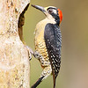 Female Black-cheeked Woodpecker