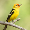 Male Western Tanager with Dinner... or lunch... or breakfast
