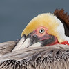 Breeding Plumage Brown Pelican, California