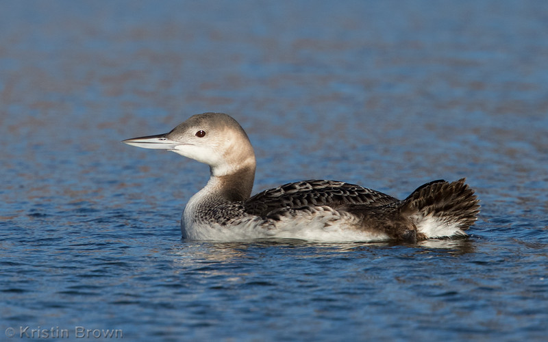 Common Loon,
