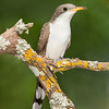 Yellow-billed Cuckoo during spring migration