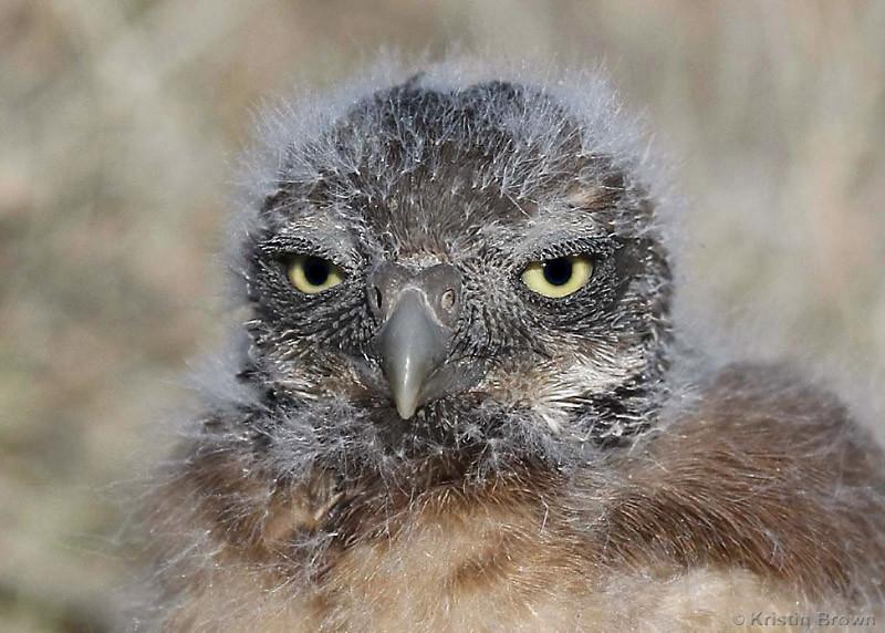 Baby Burrowing Owlet
