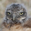 Baby Burrowing Owl<br /> Albuquerque, NM