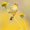 Lesser Goldfinch on Maximilian's Daisy