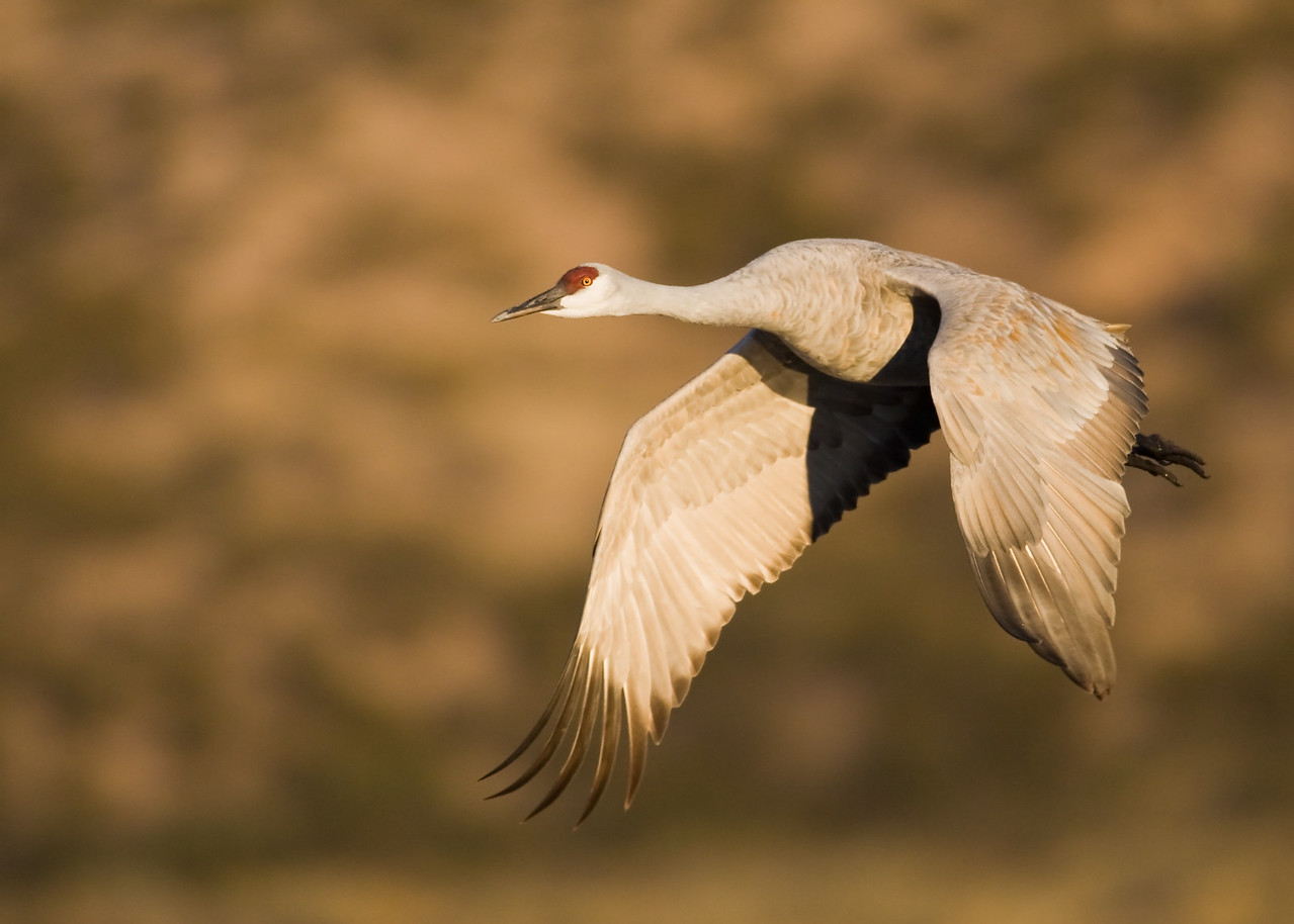 Sandhill Crane, Bosque del Apache Wildlife Refuge, New Mexico