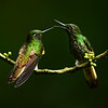 Buff -tailed Coronets