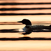 Sunrise Loon Silhouette
