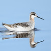 Male Wilson's Phalarope (breeding)