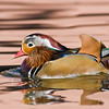 Captive Mandarin Duck, NM USA