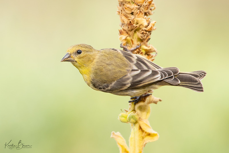 Topside Lesser Goldfinch
