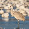 Sandhill Crane Against a Sea of Geese