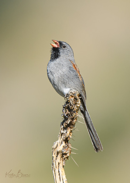 Black-chinned Sparrow Singing