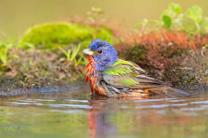 Male Painted Bunting Bathing
