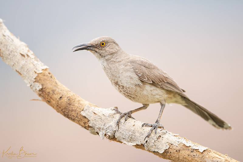 20180805-_85K1137-Curve-billed-Thrasher