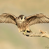 Early morning Peregrine Falcon just before takeoff
