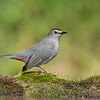 Gray Catbird at bath