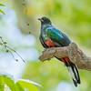 Eared Quetzal with Hackberry (AZ rare bird)