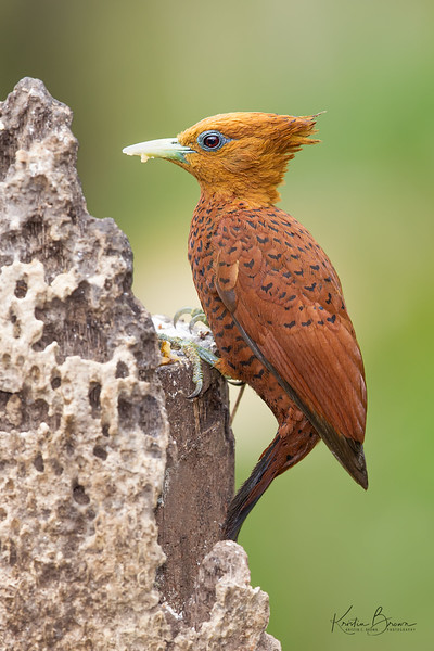 Female Chestnut-colored Woodpecker