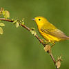 Yellow Warbler (migration)