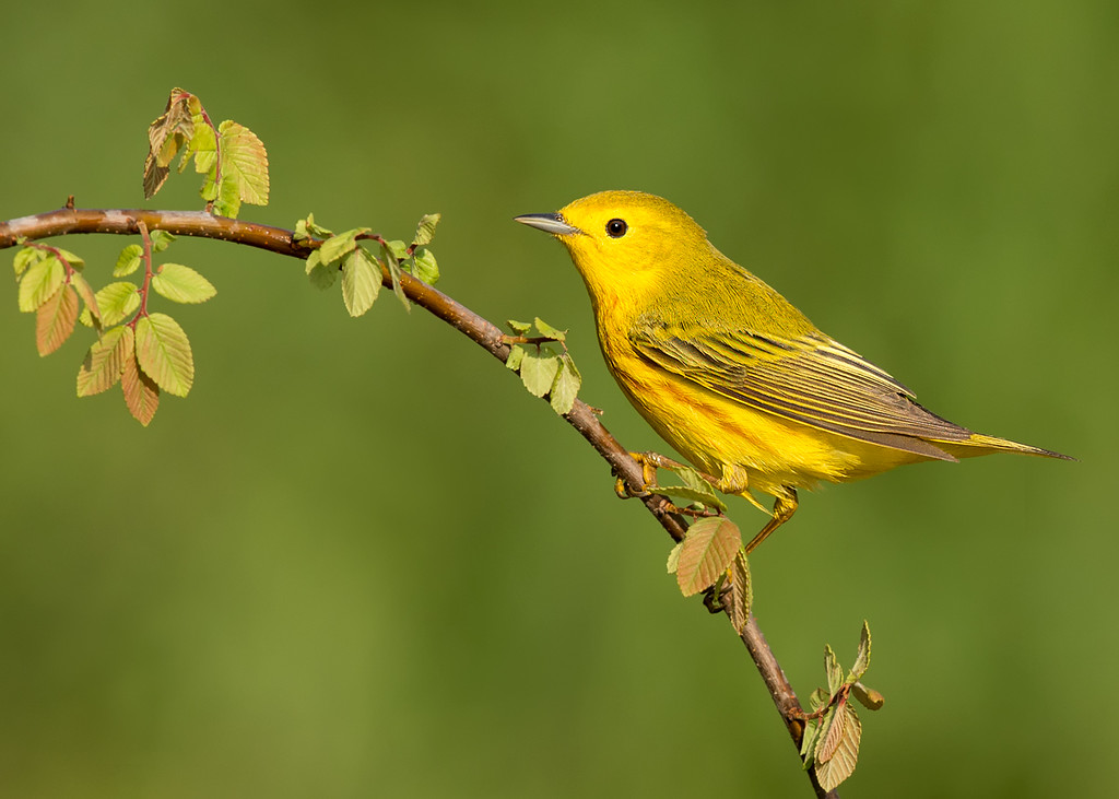 Yellow Warbler (migration)