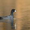 American Coot with Floating Feather