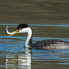 Western Grebe with prize