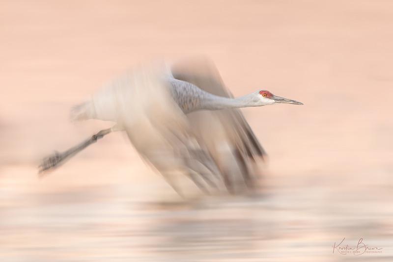 Pan-blur Sandhill Crane (study #1)