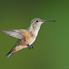 Female Rufous Hummingbird<br /> Santa Fe, NM