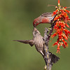 Male House Finch feeding it's offspring.<br /> The Pond at Elephant Head, AZ