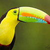 Keel-billed Toucan Portrait