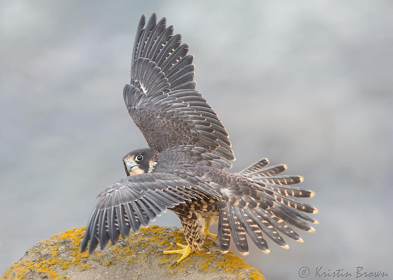 Juvenile Peregrine Falcon Wing Spread