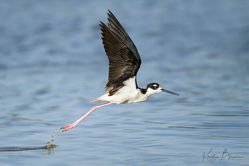 Black-necked Stilt Take Off