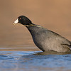 American Coot with Grass