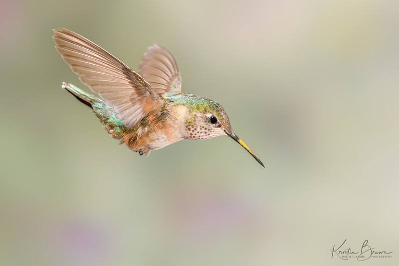 Broad-tailed Hummingbird Diving Toward Feeder
