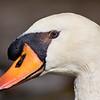 Mute Swan (captive)