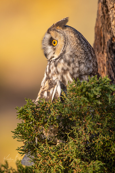 Long-eared Owl (Captive avian ambassador for Hawks Aloft)