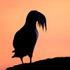 Atlantic Puffin with Sand Eels Silhouette
