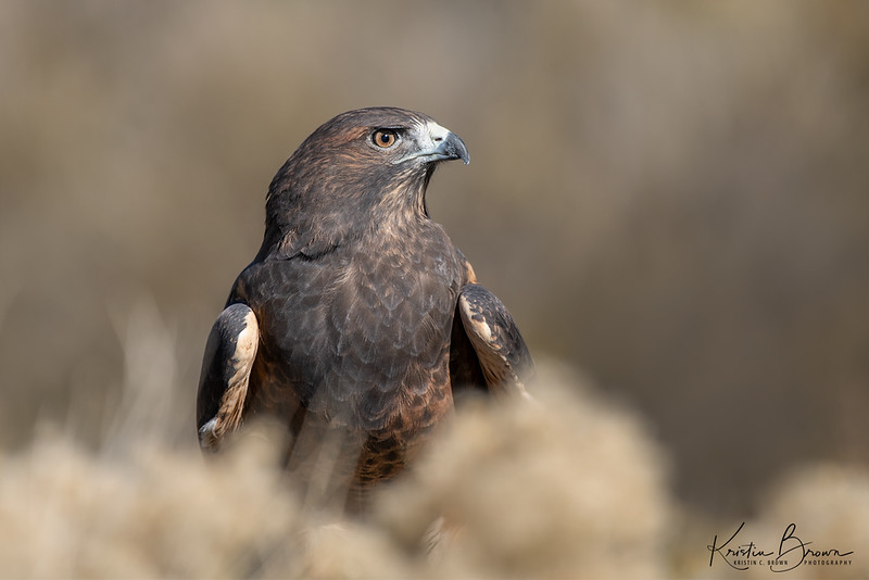 Dark morph Swainson's Hawk (captive avian ambassador for Hawks Aloft)