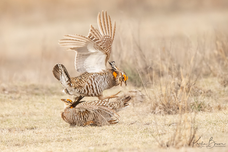 Male Greater Prairie Chickens Squabbling on the Lek