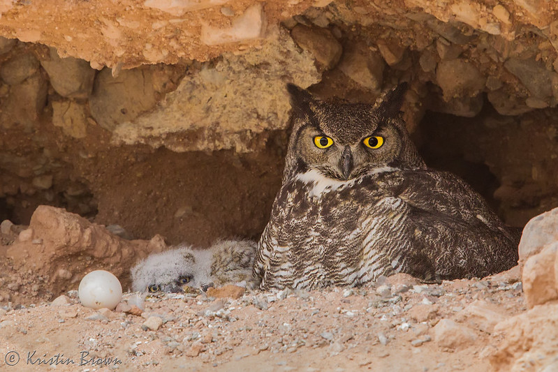 Mama, baby and egg Great-horned Owls