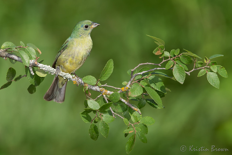 Painted Bunting (migration)
