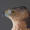 Cooper's Hawk (captive)