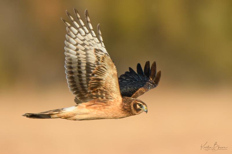 Juvenile Northern Harrier Hawk