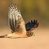 Juvenile Northern Harrier Hawk