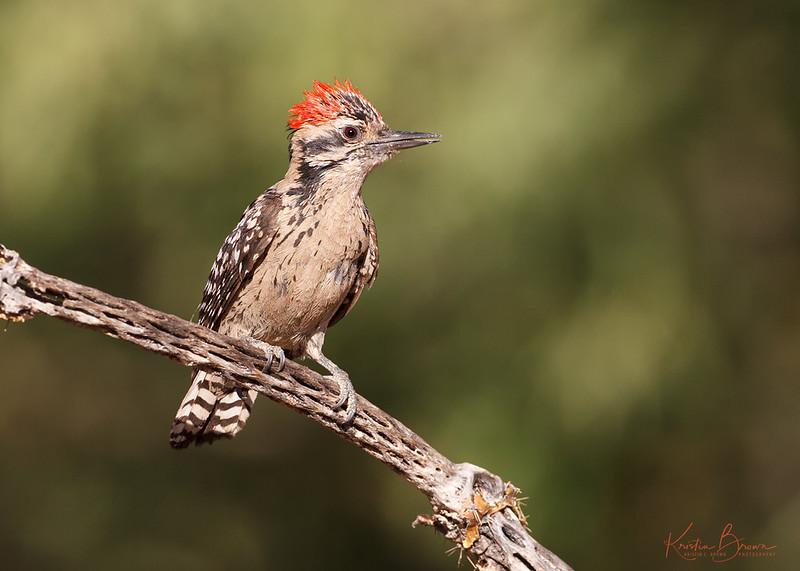 Male Ladder-backed Woodpecker