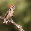 Male Ladder-backed Woodpecker