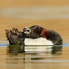 Male Ring-necked Duck (yippee...  I can see the neck ring!)