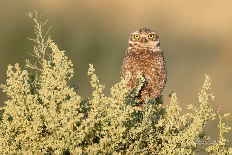 Burrowing Owl Parent